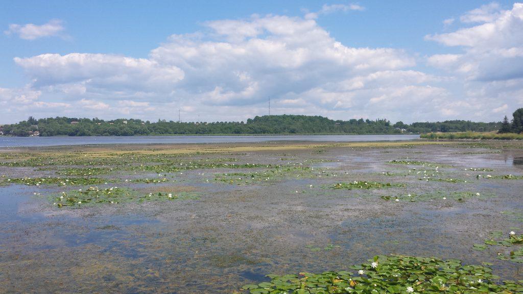Nuferi pe Lacul Scugog