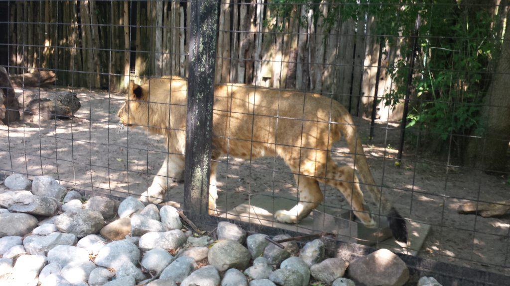 Leul are un an, si inca nu are coama dezvoltata. In anii leilor, este adolescent. Coama i se va dezvolta la varsta de 4-5 ani.